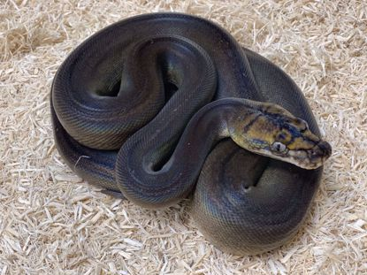 Picture of Male Motley Goldenchild Sunfire Het Albino Reticulated Python